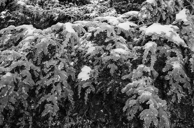 Frozen hemlock