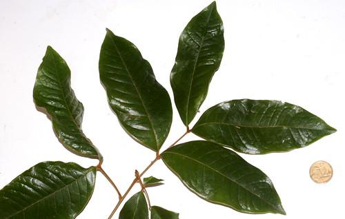 Mischocarpus lachnocarpus DSC_0034