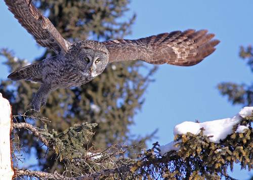 Great Gray Owl...#34 by Blackcat Photography