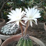 Echinopsis Hammerschmidii