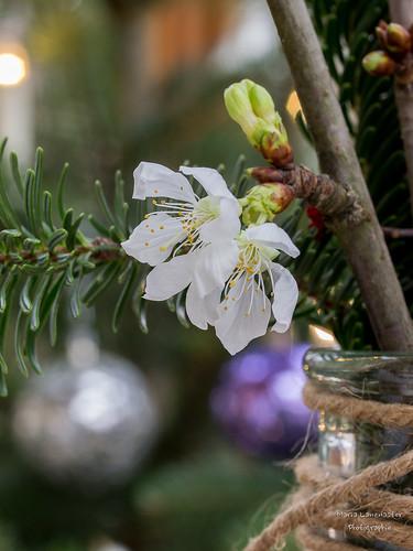 Blühende Barbarazweige am Heiligabend