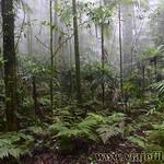 07 Viajefilos en Australia. Dorrigo Rainforest NP 25
