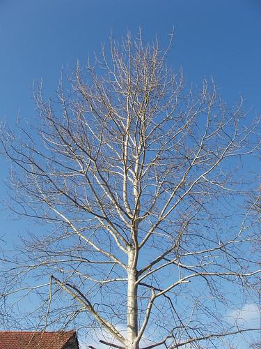 200702030017-silver-birch