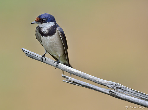 White-throated Swallow by Martin_Heigan