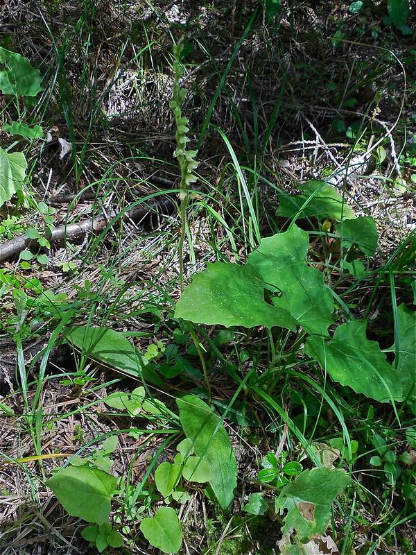 Western Rattlesnake Plantain