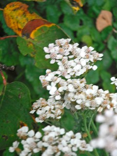 White flowers with autumn leaves
