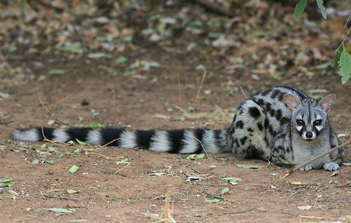 Common Genet  Genets are normally shy and nocturnal but