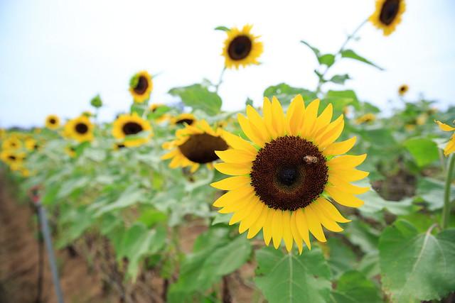 【桃園景點】向陽農場/向日葵花海 桃園親子景點 免門票 @ 寰兒的執著日記 :: 痞客邦