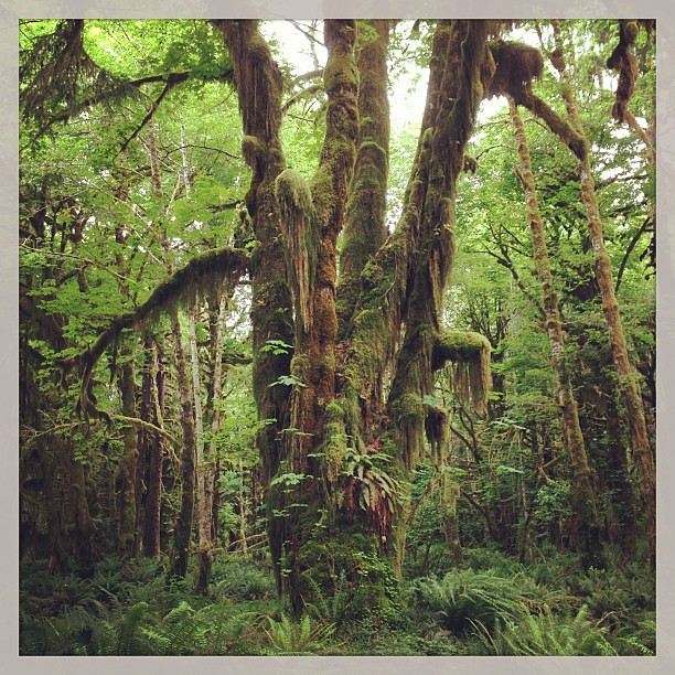Quinault rain forest trail, Olympic National Park