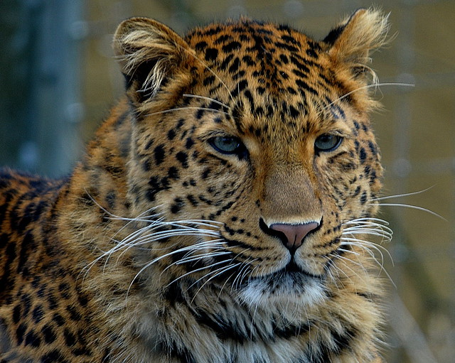 Leopard Julius relext