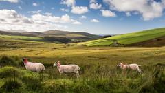 Irish mountain sheep