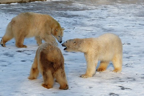All three bears on the ice!