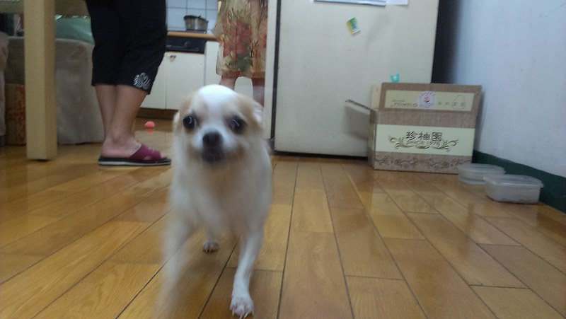 Over excited little old dog with protruding eyes