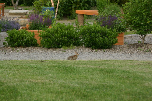 Rabbit spots the photographer