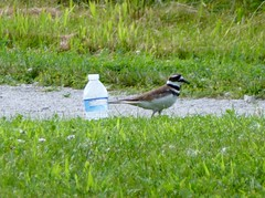 Killdeer with water bottle