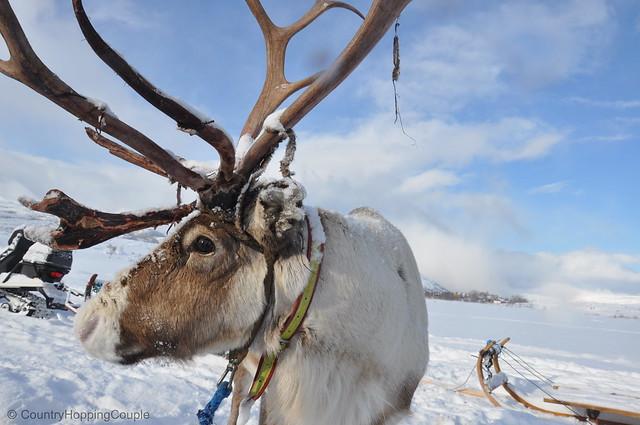 Reindeer in Kvaloya Norway1