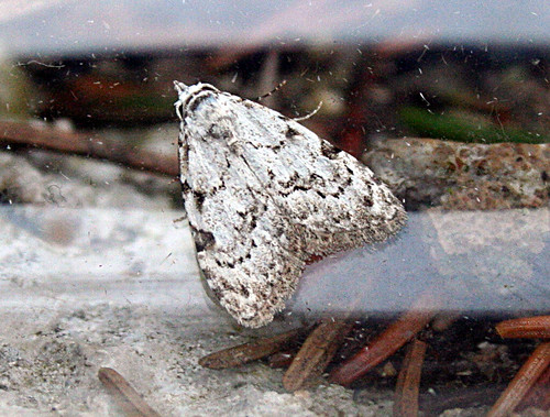 Least Black Arches Nola confusalis Tophill Low NR, East Yorkshire May 2013