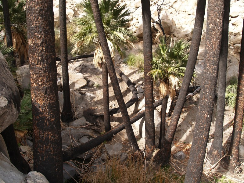Looking down at the black burnt trunks of palm trees. When your trunk is filled with water you can survive a wildfire.