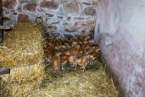Just arrived chicks