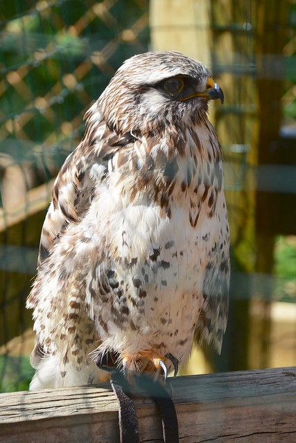 Nannok the Rough-Tailed Hawk