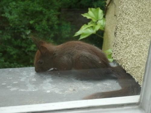 Hungriges Eichhörchnchen 1