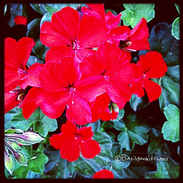 June 28 - red {scarlett ivy geranium in my garden} #fmsphotoaday #red #scarlett #geranium #garden #