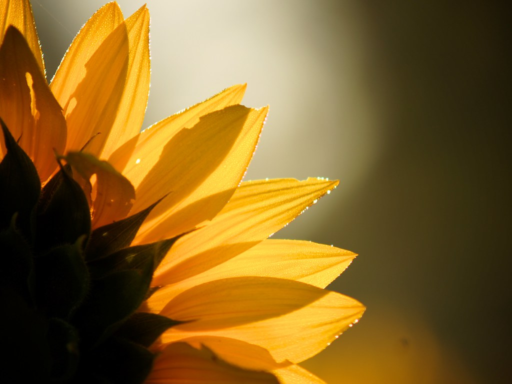 Dawn Sunflower 8