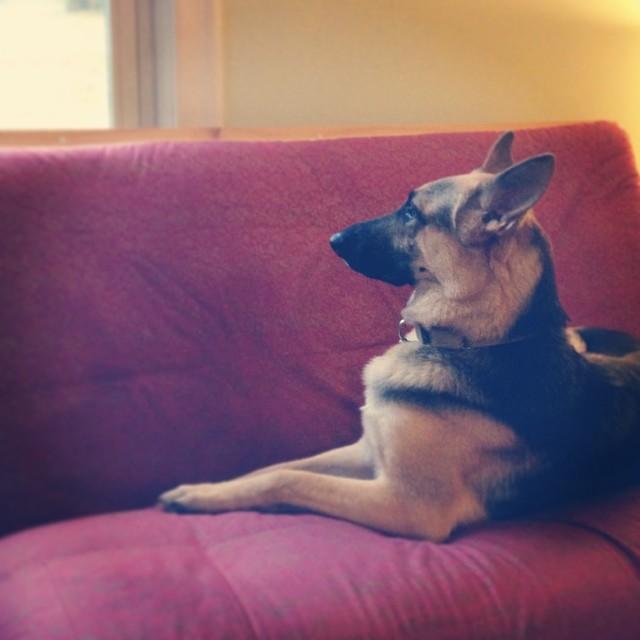 The queen lounges. #pyrrha #germanshepherd #gsd