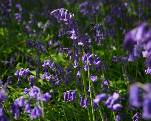 20130512-07_Cawston Bluebell Woods by gary.hadden