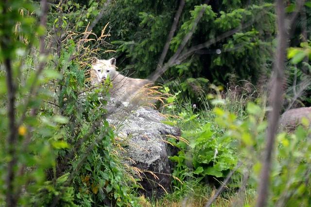 Peeping Wolf
