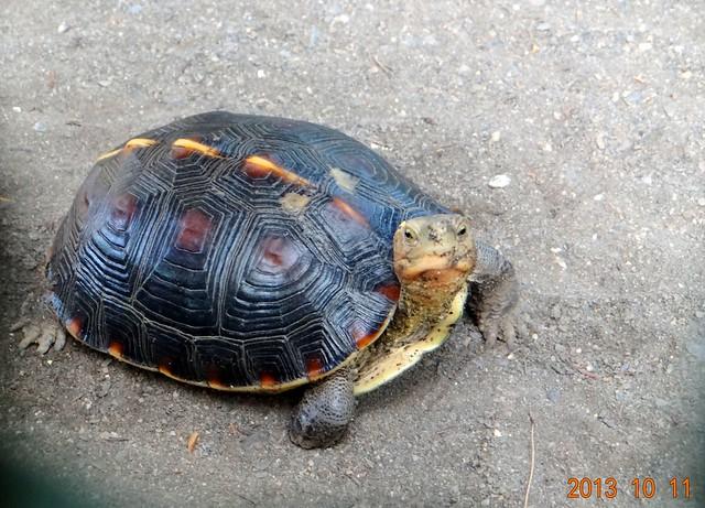131011澄清湖鳥園新住民_食蛇龜 | Flickr - Photo Sharing!