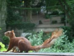 Eichhörnchen432