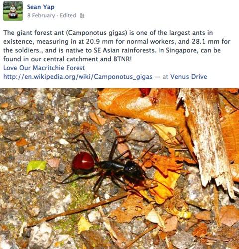 Sean Yap - Camponotus gigas