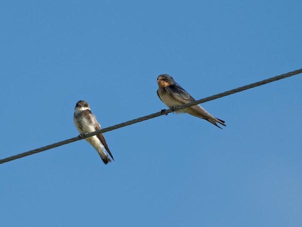 Bank Swallow and Barn Swallow