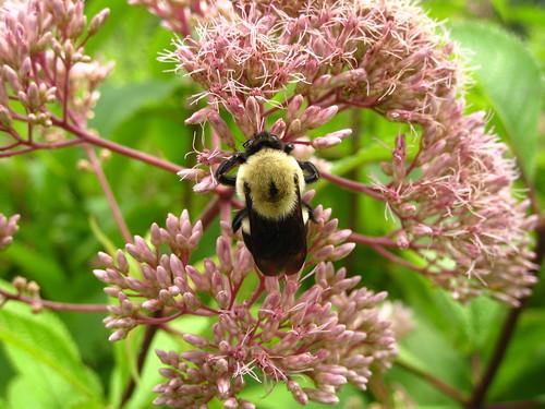 Bee Sweet ~ Joe Pye Weed by Rosa Blue