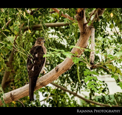 Shikra Female by Rajanna @ Rajanna Photography
