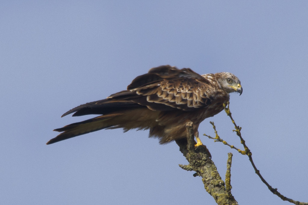 Juvenile red kite perched on the branch of a tree...
