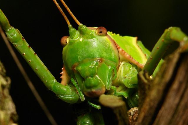 Giant False Leaf Katydid (Pseudophyllus titan, Pseudophyllinae, Tettigoniidae)
