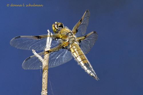 Daks: Four-spotted Skimmer