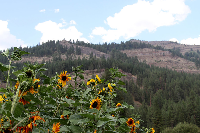 sunflowers and moutains