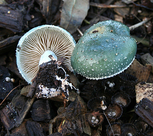 Stropharia caerulea Blue Roundhead Tophill Low NR, East Yorkshire November 2013