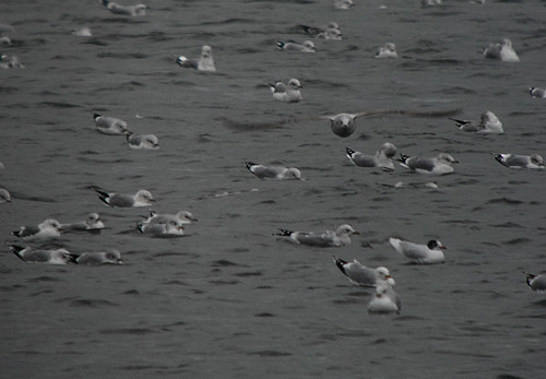Gulls at Tophill Low NR, East Yorkshire February 2014