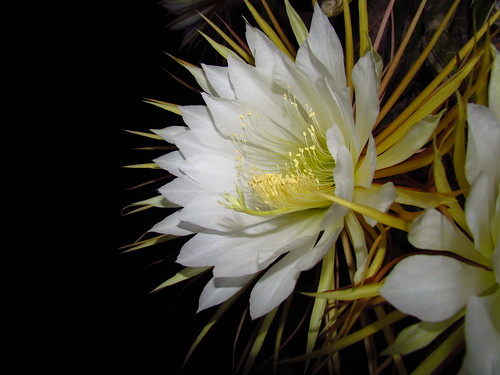 Cactus Flower Blooms (at night)