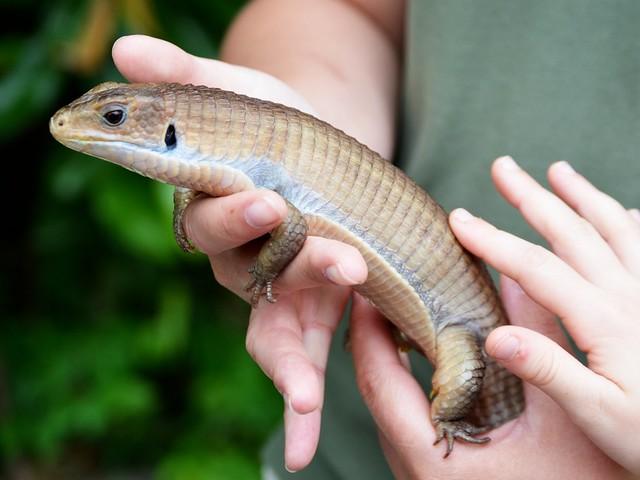 Dunbar, the Plated Lizard