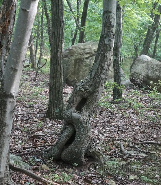 bizarre tree 0000 Harriman State Park, NY, USA