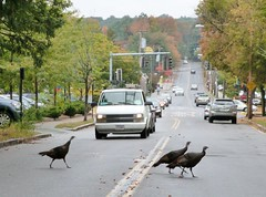 Why did the turkeys cross the road