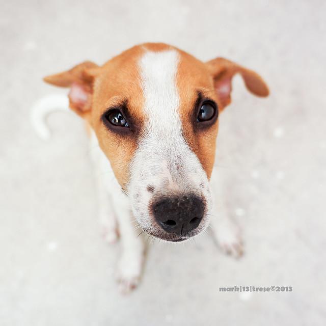 Magda Asong Pinoy Philippine dog