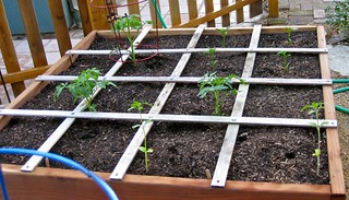 tomatoes, peppers, sunflowers (all started from seed)