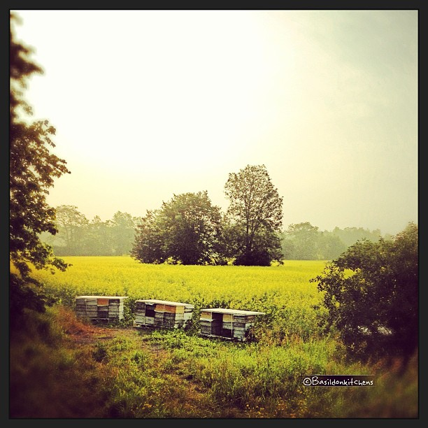 July 3 - soon {soon there will be lots if honey in those hives} #photoaday #princeedwardcounty #honey #hives #morning #mist #canola #rapeseed #fog