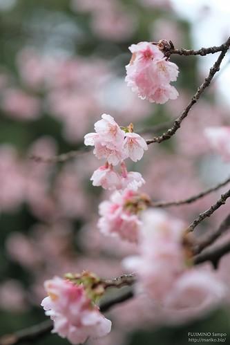 寒桜 20170315-DSCT3799 (2)